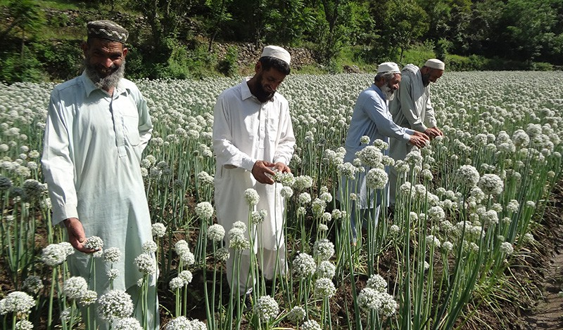 Members of the Shuga Onion Seed Association inspect the seed heads.