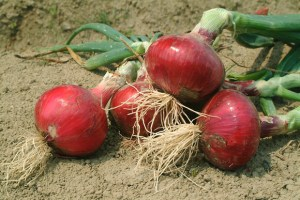 Quality onion bulbs start with quality onion seed. Seed producers in Pakistan are finding ready buyers for their seed crop.