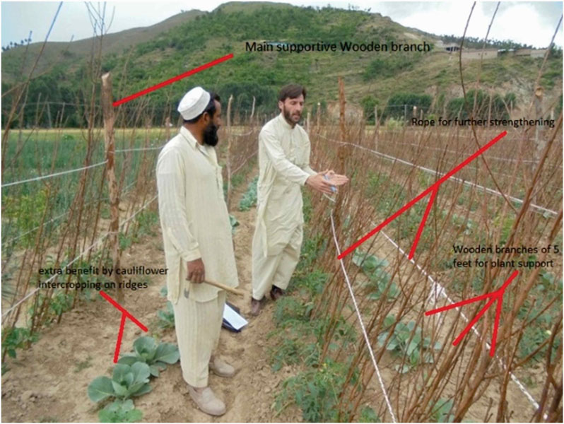 Discussing staking methods for vegetable crops. Farmers are directly involved in developing best practices in the field.