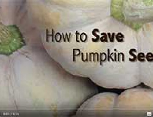Saving PUMPKIN seed