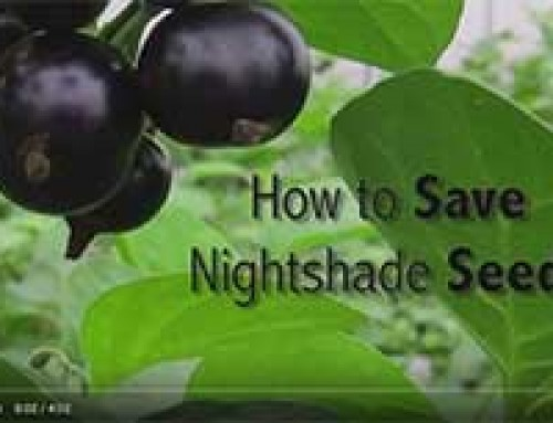 Saving NIGHTSHADE seed