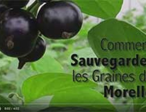 Saving NIGHTSHADE seed — French