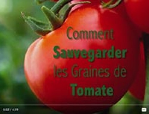 Saving TOMATO seed — French
