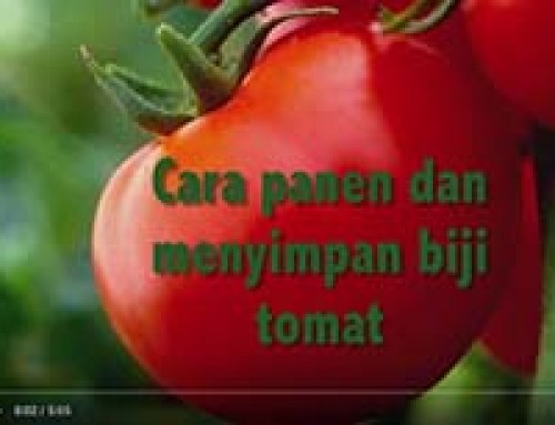 Saving TOMATO seed — Indonesian