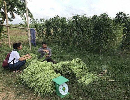 Attraction in Action project attracts yard-long bean farmers in Cambodia, promotes IPM in Lao PDR