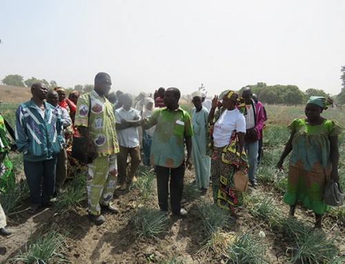 Cameroon's professional onion seed producers