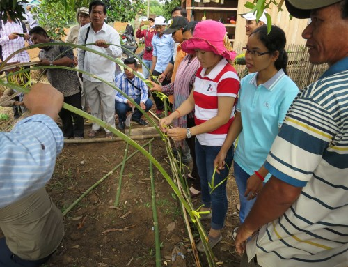 Tomato grafting comes to Cambodia