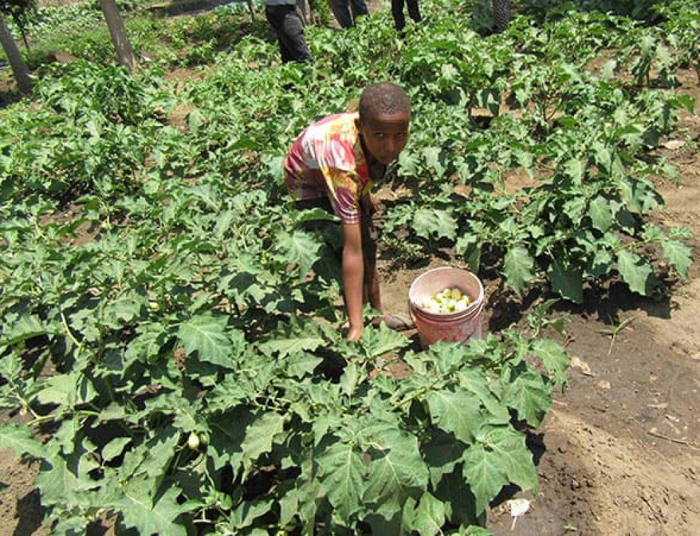 Meat-eating Maasai develop a taste for leafy greens