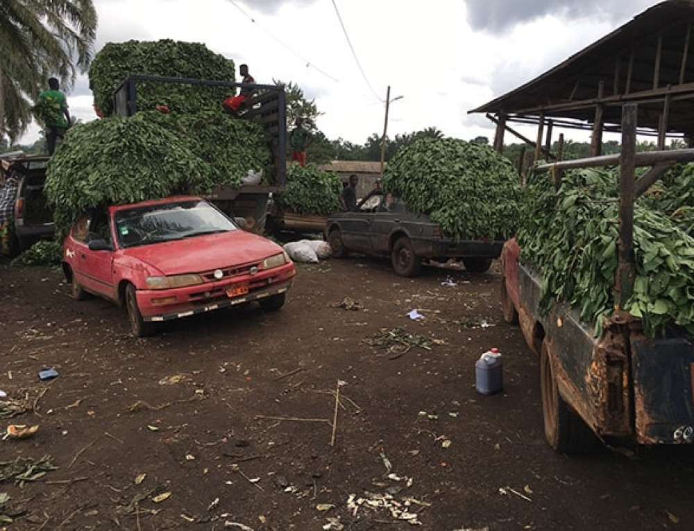 Traditional African vegetables go commercial in Cameroon